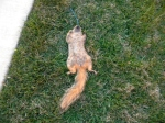 DEAD! just a dead squirrel RIP